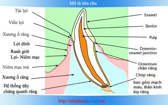Mô tả Viêm Nha chu